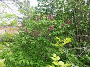 Lilacs on the way