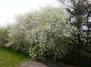 Pin cherries in bloom