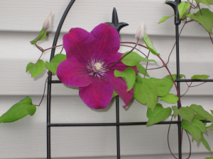 itty bitty vine, HUGE flower