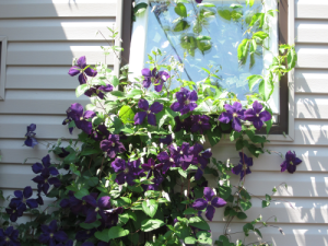Note how this clematis has grown up under my window (!)